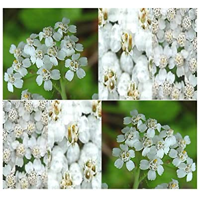 8, 000 White Yarrow Herb Flower Seeds ~Clustered Flowerheads of Tiny Flowers : Vegetable Plants : Garden & Outdoor