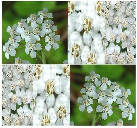 Amazon 8 000 white yarrow herb flower seeds clustered 8000 white yarrow herb flower seeds clustered flowerheads of tiny flowers mightylinksfo