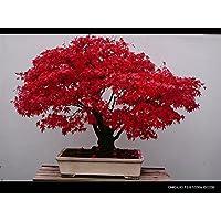 lascia 10PC Cina rosso piuma semi di acero. Specie rare, piccolo albero bonsai
