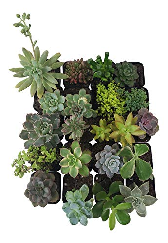 Succulent Plants [20 Pack Succulents] - Rooted 2 Inch Succulents in Planter Pots with Soil, Unique Live Indoor Plants for Decoration, Easy Care Plant Decor by Succulent Depot by Succulent Depot (Image #5)