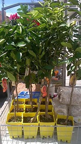 pianta di Limoni 4 stagioni in vaso giallo 17 x 17 altezza 1,50 ...