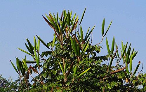 Pod Tulip (Home Comforts Peel-n-Stick Poster of Hubli India African Tulip Organic Seed Pod Tree Poster 24x16 Adhesive Sticker Poster Print)