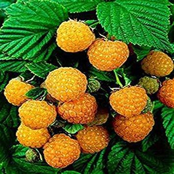 ANVIN Germination Seeds:Fresh Organic Rasp Seeds Non-GMO Fruit Seeds Four Season Seedsing