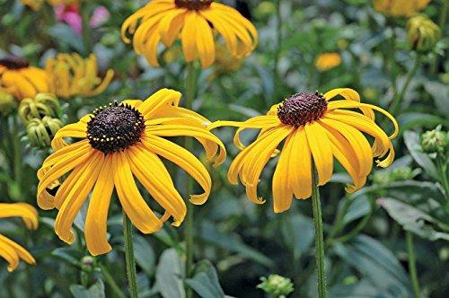 (Early Bird Gold Black-Eyed Susan - Rudbeckia - Live Plant -Gallon Pot)