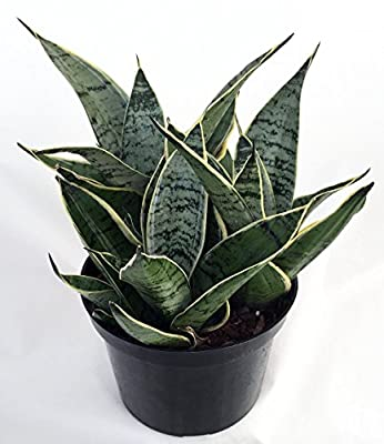 "Jmbamboo - Starlite Snake Plant, Mother-in-law's Tongue - Sanseveria - 4"" Pot from jmbamboo"