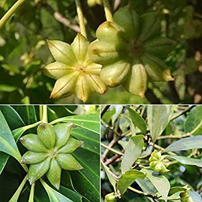 20pcs/Bag Bonsai Tree Star Seeds Plants Anise Illicium Verum Vegetable Organic Bonsai Garden : Garden & Outdoor