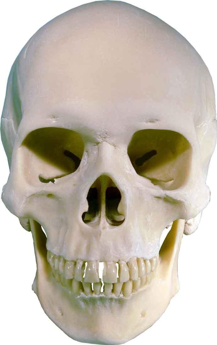 Life-Size Human Skull Replica, Model 3093001, by Nose Desserts ...