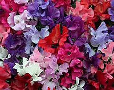 Sweet PEA, Royal Family Mix Sweet Pea flower seeds, Organic, 25 seeds per package, Sweet and beautiful addition to your home or business garden.