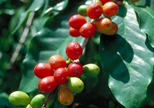 Arabica Catura Coffee Bean Tree 10 Seeds - Strapping!