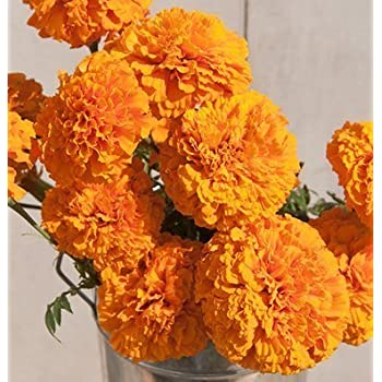 Davidu0027s Garden Seeds Flower Marigold Giant Orange D1883 (Orange) 50 Open  Pollinated Seeds