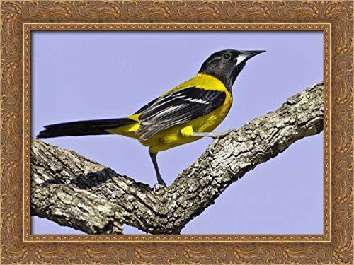 (Texas, Santa Clara Ranch Audubon Oriole on Limb 24x17 Gold Ornate Wood Framed Canvas Art by Lord,)