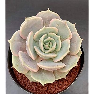 "AchmadAnam - Seeds - 100pcs Succulent""Echeveria Lola"" Rare Succulent, Succulent, lithops and Rare Succulent Seeds Flower Living Stone. E13 : Garden & Outdoor"