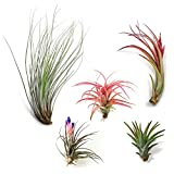 50 Pack Classic Variety Tillandsia Assortment - 30 Day Guarantee - Wholesale - Bulk - Fast Shipping - House Plants - Succulents - Free Air Plant Care Ebook By Jody James