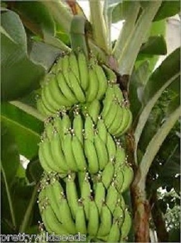 10 X MUSA ACUMINATA EDIBILE Banana Plant Tropical Seeds Hardy Fresh Seeds