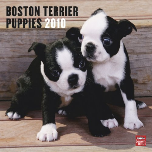 Boston Terrier Puppies 2010 Square Wall (Multilingual - Puppies Terrier 2010 Calendar