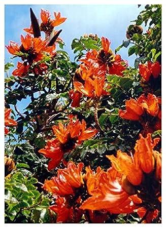 tropica afrikanischer tulpenbaum spathodea campanulata 30 samen