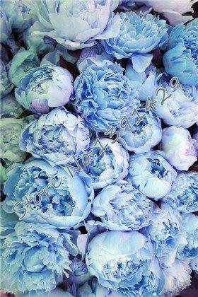 (chinese peony,peony root seeds, 10 pcs peony seeds Blue)
