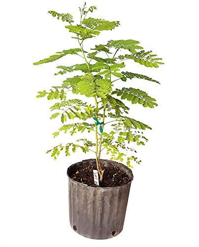 PlantVine Caesalpinia pulcherrima, Dwarf Poinciana, Pride of Barbados - Extra Large - 12-14 Inch Pot (7 Gallon), Live Plant by PlantVine (Image #1)