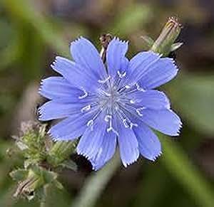 Bluest Blue Chicory 500+ Seeds Organic, Beautiful Blue Cut Flower