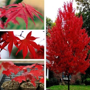 25pcs American Red Maple Tree Seeds