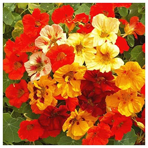 Everwilde Farms - 1/4 Lb Jewel Mix Dwarf Nasturtium Wildflower Seeds - Gold - Dwarf Jewel Nasturtium