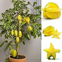 Potato001 50Pcs Thai Star Fruit Seeds Juicy Carambola Exotic Tree Seed High Germination