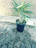 1 Gallon Pot, Madagascar Palm Pachypodium Geayi Large Live Plant WCRF3