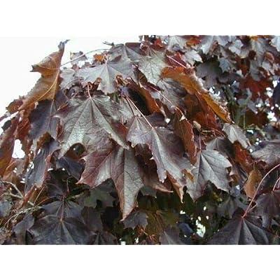 5 Crimson King Maple Trees 6-10 INCH DEEP Fall Color Trees Gift Farm Bonsai: Garden & Outdoor