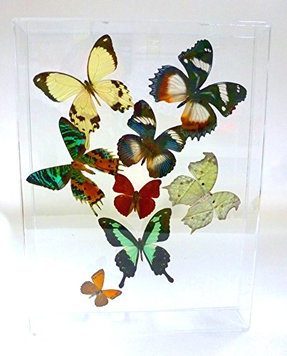 Amazon.com - Real Framed Butterflies: Flight of 8 Africa 10\