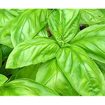 Italian Large Leaf Basil Seeds, 500+ Premium Heirloom Seeds, On Sale & Top Selling Basil, (Isla's Garden Seeds), 99.7% Purity, 85% Germination, Highest Quality Seeds, 100% Pure : Garden & Outdoor