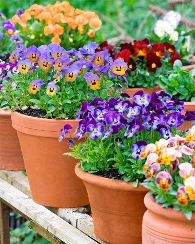Buy Garden Pansy Pansies Multi Color Flower Seeds Pack Of 300 Seeds Online At Low Prices In India Amazon In