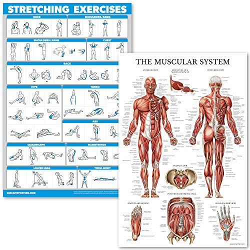 QuickFit Stretching Exercises and Muscular System Anatomy Poster Set - Laminated 2 Chart Set - Stretching Workout Routine & Anatomical Muscle Diagram (18