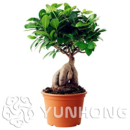 AGROBITS 50 pcs A Bag Banyan Tree Bonsai Ficus Ginseng Plant Chinese Rare Ficus Microcarpa Tree Green Bonsai DIY Home Garden -