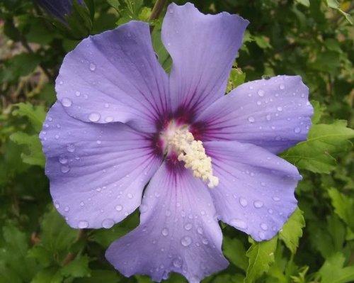 50-blue-bird-rose-of-sharon-hibiscus-syriacus-flower-tree-bush-shrub-seeds-mix-comb-s-h