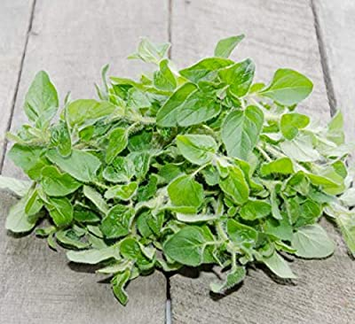 Italian Oregano, Herbs, 2500+ Premium Heirloom Seeds, Absolutely Fantastic Addition to Your Home herb Garden! (Isla's Garden Seeds), Non GMO, 85% Germination Rates, Highest Quality Seeds