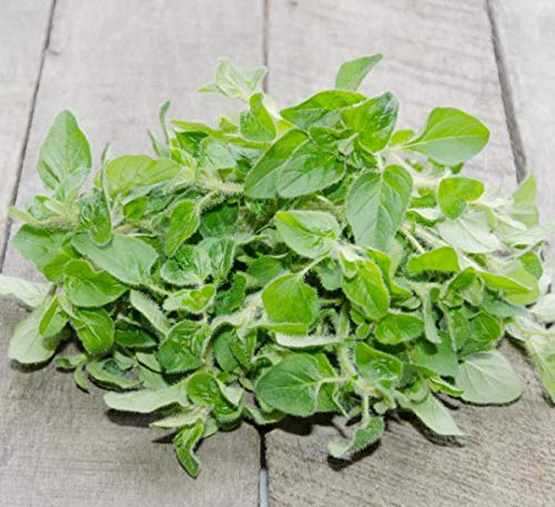 Italian Oregano, 2500+ Premium Heirloom Seeds, a.k.a. Vulgare Oregano, (Isla's Garden Seeds), Non GMO, 80% Germination, Highest Quality!