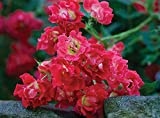 Red Drift Rose, 1 Bare Root Plant