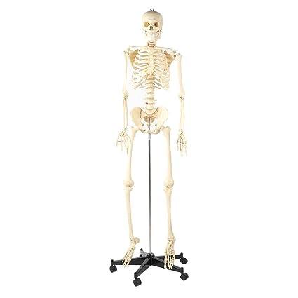 blackpoolal 175 cm Anatomía Esqueleto Modelo Figura de esqueleto ...