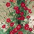 Fresh Hummingbird Vine - Cardinal Climber - Cypress Vine - 100 Seeds - 15+Ft Vines - Red Flowers