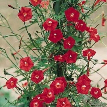 Fresh Hummingbird Vine - Cardinal Climber - Cypress Vine - 100 Seeds - 15+Ft Vines - Red -