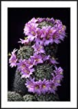 ArtEdge Arizona Fishhook Pincushion Cactus. Sonoran Desert. Tucson, Arizona by Thomas Wiewandt Framed Print Size 41x29 Frame Finish Ronda Ii Black