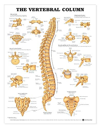 The Vertebral Column Anatomical Chart (Chiropractic Education)