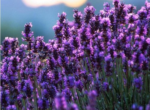 199 seeds French Provence Lavender Seeds Very Fragrant can grow well in Bonsai organic lavender seeds plant Home Garden Bonsai - Well Fragrant Garden