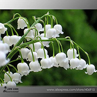 Heirloom White Lily of the Valley Convallaria majalis Perennial Flower Seeds, Professional Pack, 50 Seeds / Pack, Very Beautiful