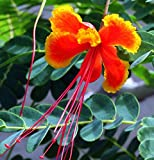 Caesalpinia Pulcherrima, Dwarf Poinciana Shrub/tree 20 Seeds Red Orange Flowers