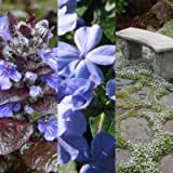 Classy Groundcovers - Sunny Blue Deer Mix, 20% off: 25 Ajuga reptans 'Chocolate Chip', 25 Ceratostigma plumbaginoides, 25 Laurentia fluviatilis 'Blue'