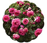 Stargazer Perennials Pretty In Pink Eden Climbing Rose Plant Reblooming Fragrant Pink Hardy Climber - Own Root Potted