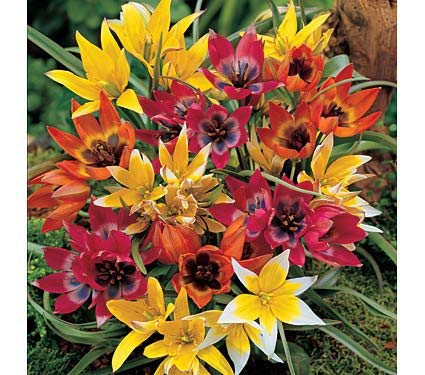 Yellow, Pink, Orange, and White Species Tulip Winsome Wildings Mix - 10 Large Bulbs - 12+ cm Miniature Tulip