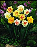 Burpee's Double Mix Daffodil - 12 Flower Bulbs | Multiple Colors | 14 - 16cm Bulb Diameter
