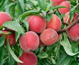 Red Haven Peach Tree Semi-Dwarf - Healthy Established 1 Gallon Trade Pot 1 each